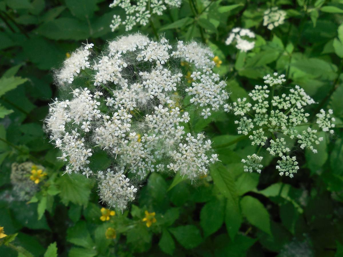 Aegopodium - herbe aux goutteux