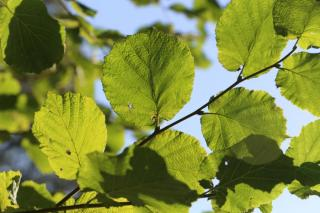 Alnus glutinosa - Aulne noir europe ombre