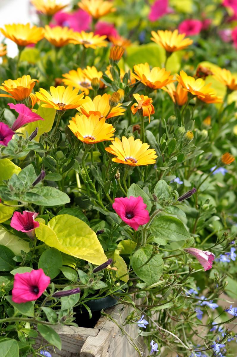 Annuelle qui pousse rapidement fleur