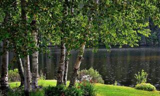 Betula nigra - bouleau noir ombre