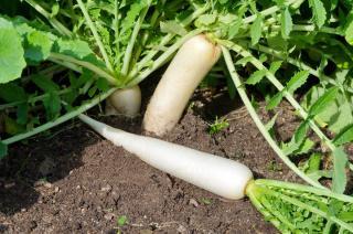Daikon - radis blanc