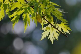 Erable argenté - Acer saccharinum
