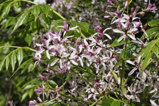 Margousier - Lilas de Perse - Melia azedarach culture