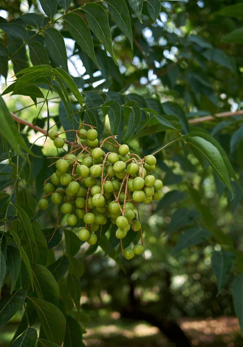 Margousier - Lilas de Perse - Melia azedarach