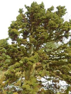 Plantation Cedre du Japon - Cryptomeria japonica
