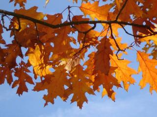 chene rouge - Quercus rubra - arbre ombrage