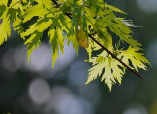 erable argente plantation - Acer saccharinum