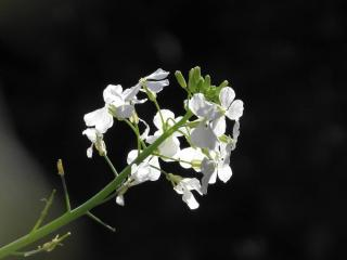 fleur de daikon