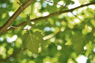 platane arbre ombre
