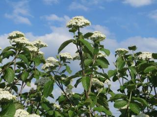 viorne lantane - viburnum lantana - plantation