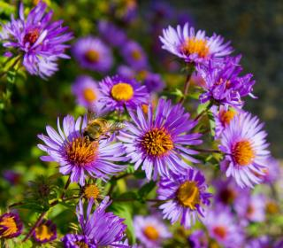 Aster automne