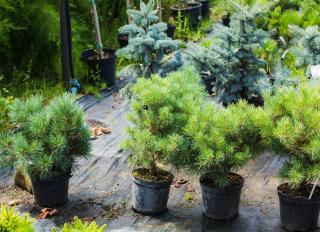 Bien planter un conifere