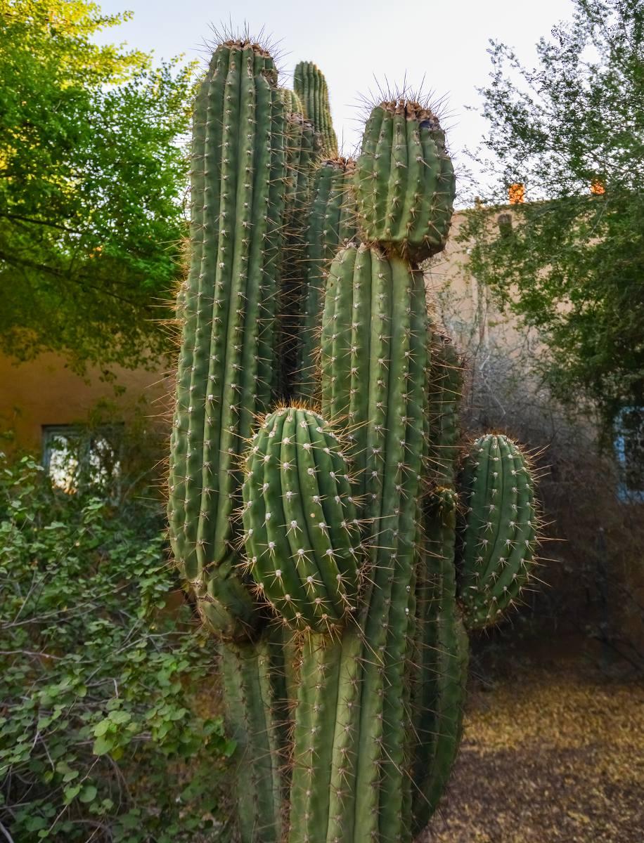 Carnegiea gigantea - Sage du désert
