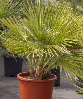 Chamaerops humilis en pot - palmier en pot