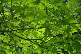 Feuille Quercus rubra - chêne rouge