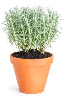Helichrysum italicum en pot pour plantation - plante a curry planter