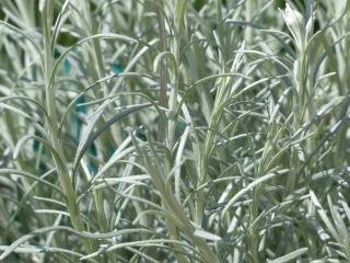 Helichrysum italicum feuillage maladie