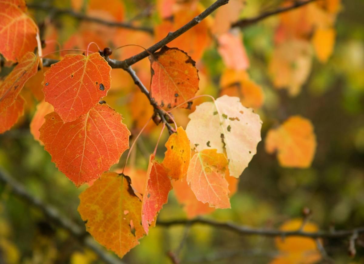 Peuplier faux tremble - Populus tremuloides