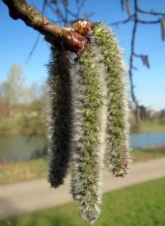 Peuplier faux tremble - Populus tremuloides entretien