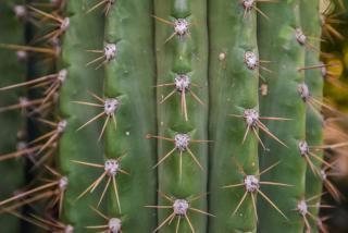 Plantation Carnegiea gigantea en pot - Sage du désert