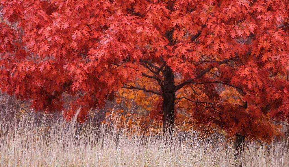 Plantation Quercus rubra - chêne rouge