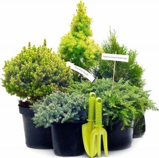 Plantation des coniferes conseils