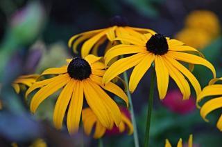 Rudbeckia fulgida jaune et noir