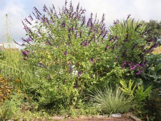 Salvia guaranatica Black and Blue