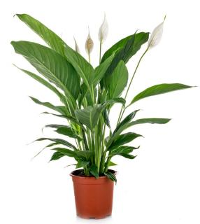 Spathiphyllum plante appartement