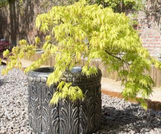 acer palmatum - erable du japon en pot