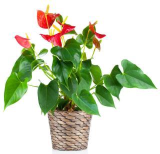anthurium plante appartement