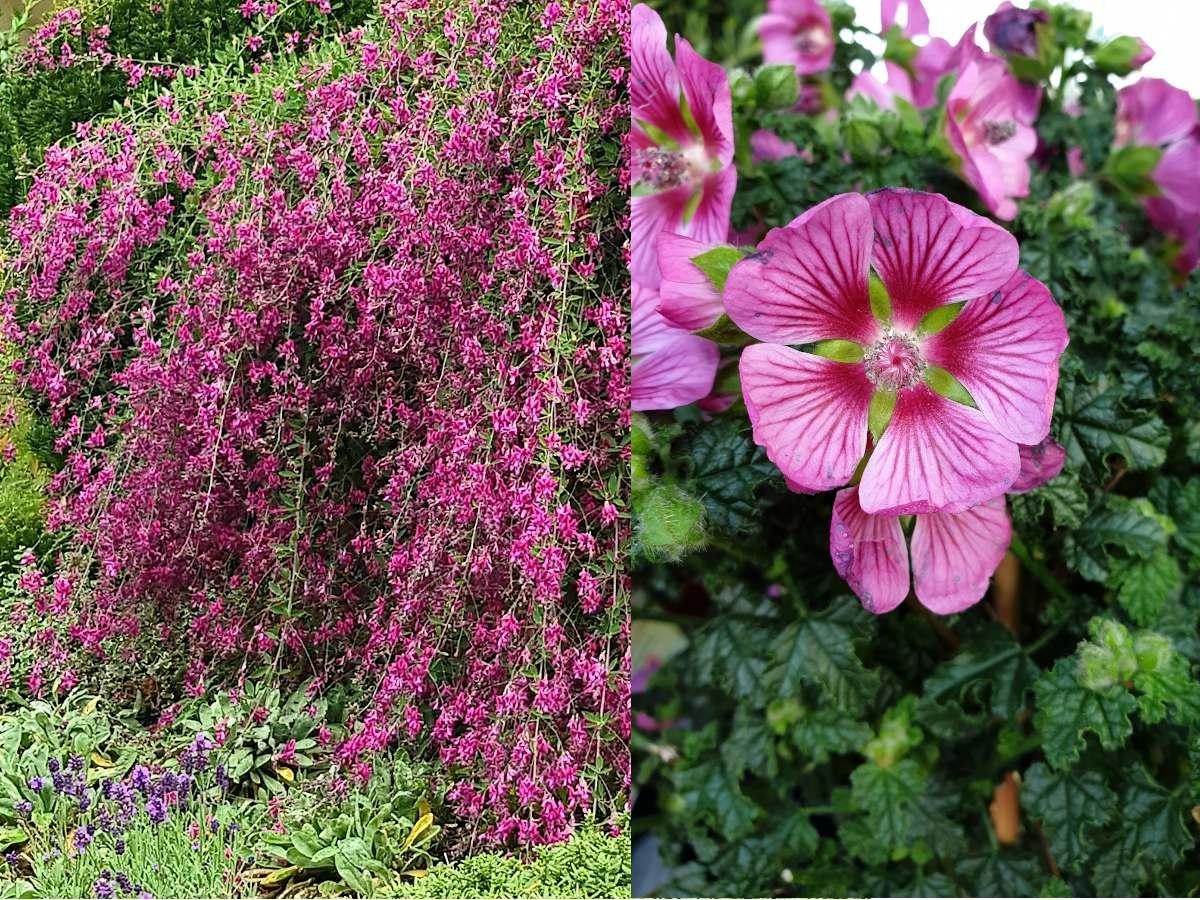 arbuste de couleur rose automne