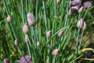diviser plante aromatique