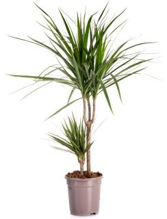 dracaena plante appartement