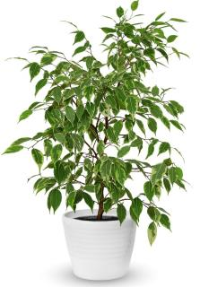 ficus benjamina plante appartement