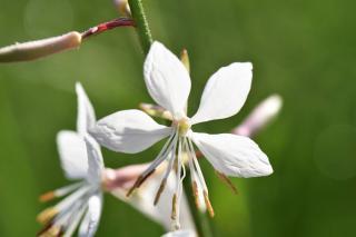floraison aura