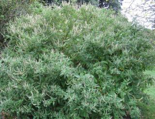 menthe en arbre - Elsholtzia stauntonii arbuste