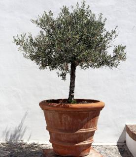 olivier en pot sur terrasse