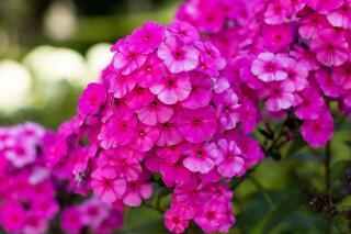 phlox-paniculata floraison septembre
