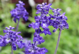 sauge bleu en fleur