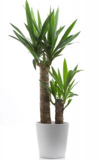 yucca plante appartement