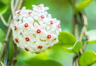 Fleur de porcelaine - Hoya plante