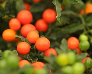 Fruit du Pommier d'amour toxicique ou comestible