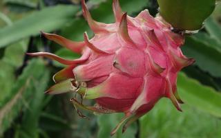 Fruit du dragon - Hylocereus undatus - Pitaya