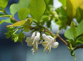Lonicera fragrantissima - chevrefeuille hiver