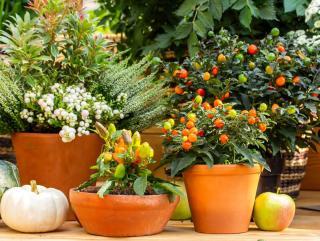 Pommier d'amour en pot et jardiniere