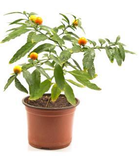 Pommier d'amour plantation