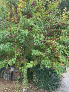 Pommier ornement plantation