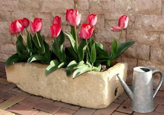 Tulipe en pot