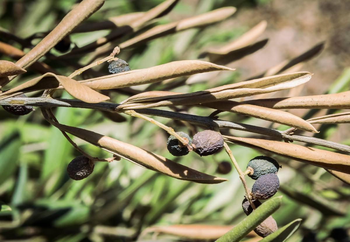 Xylella fastidiosa - bacterie olivier